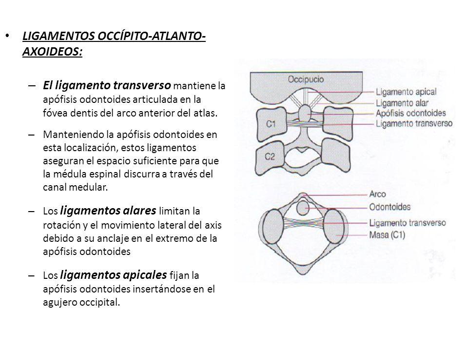 LIGAMENTOS OCCÍPITO-ATLANTO- AXOIDEOS: – El ligamento transverso mantiene la apófisis odontoides articulada en la fóvea dentis del arco anterior del a