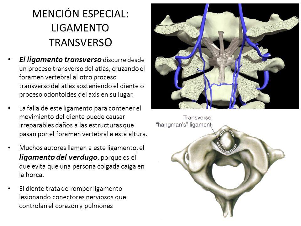 MENCIÓN ESPECIAL: LIGAMENTO TRANSVERS O El ligamento transverso discurre desde un proceso transverso del atlas, cruzando el foramen vertebral al otro