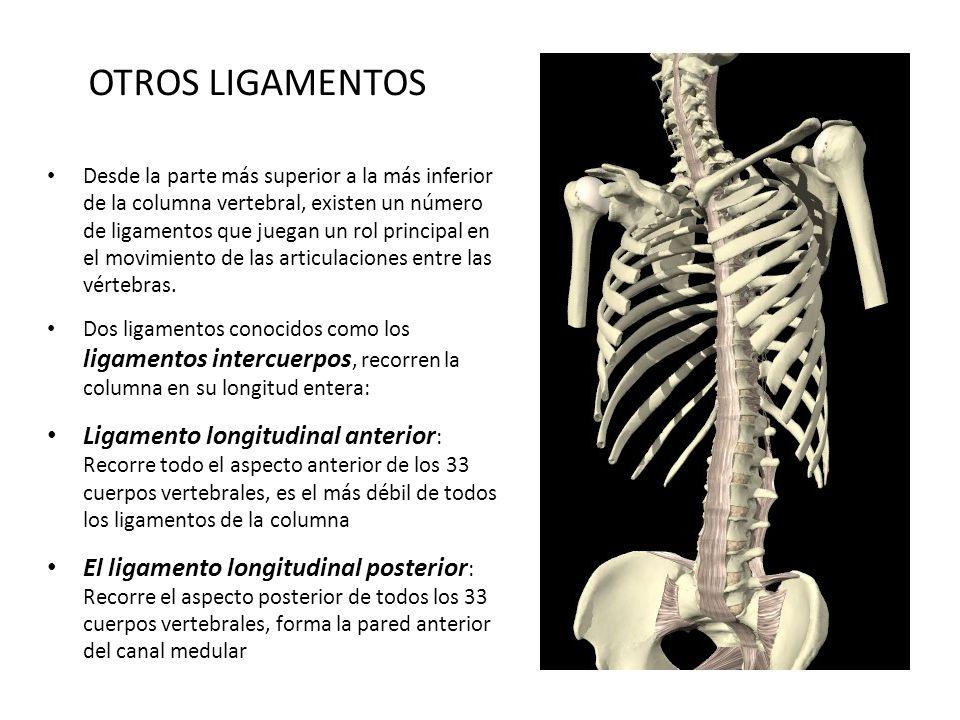 OTROS LIGAMENTOS Desde la parte más superior a la más inferior de la columna vertebral, existen un número de ligamentos que juegan un rol principal en