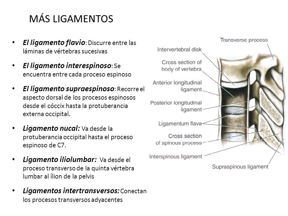 MÁS LIGAMENTOS El ligamento flavio : Discurre entre las láminas de vértebras sucesivas El ligamento interespinoso : Se encuentra entre cada proceso es