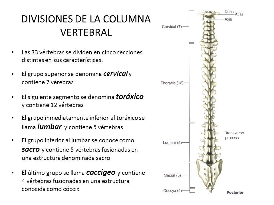 DIVISIONES DE LA COLUMNA VERTEBRAL Las 33 vértebras se dividen en cinco secciones distintas en sus características. El grupo superior se denomina cerv