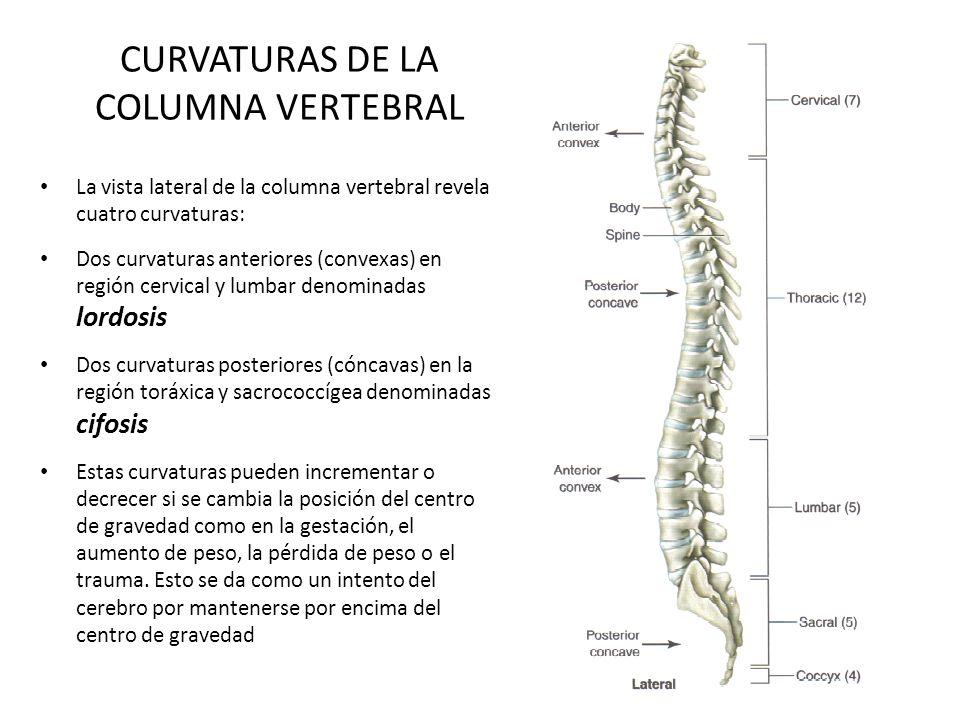 CURVATURAS DE LA COLUMNA VERTEBRAL La vista lateral de la columna vertebral revela cuatro curvaturas: Dos curvaturas anteriores (convexas) en región c
