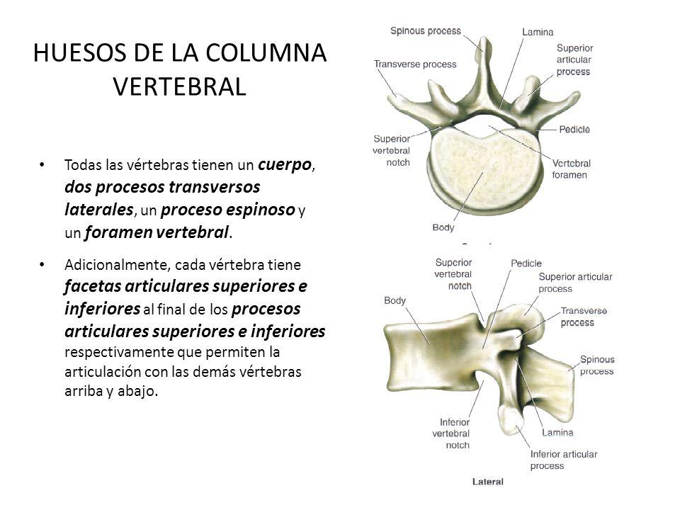 HUESOS DE LA COLUMNA VERTEBRAL Todas las vértebras tienen un cuerpo, dos procesos transversos laterales, un proceso espinoso y un foramen vertebral. A
