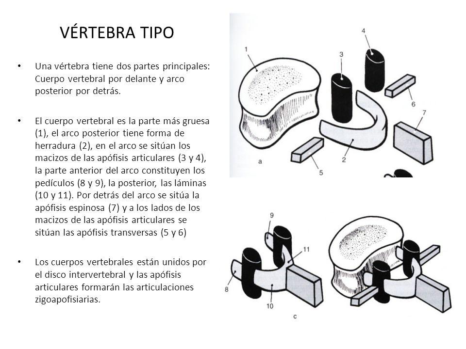 VÉRTEBRA TIPO Una vértebra tiene dos partes principales: Cuerpo vertebral por delante y arco posterior por detrás. El cuerpo vertebral es la parte más