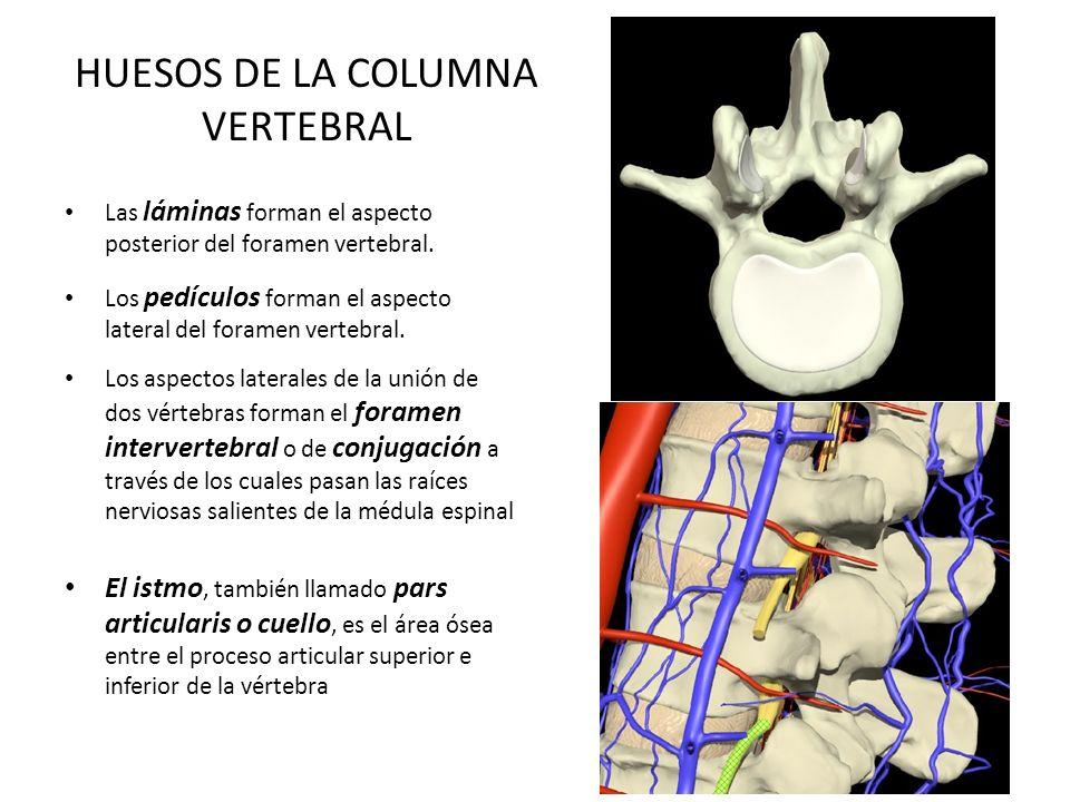 HUESOS DE LA COLUMNA VERTEBRAL Las láminas forman el aspecto posterior del foramen vertebral. Los pedículos forman el aspecto lateral del foramen vert