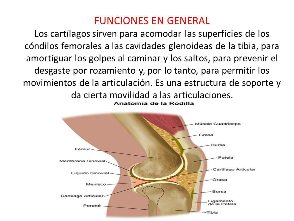 FUNCIONES EN GENERAL Los cartílagos sirven para acomodar las superficies de los cóndilos femorales a las cavidades glenoideas de la tibia, para amortiguar los golpes al caminar y los saltos, para prevenir el desgaste por rozamiento y, por lo tanto, para permitir los movimientos de la articulación.