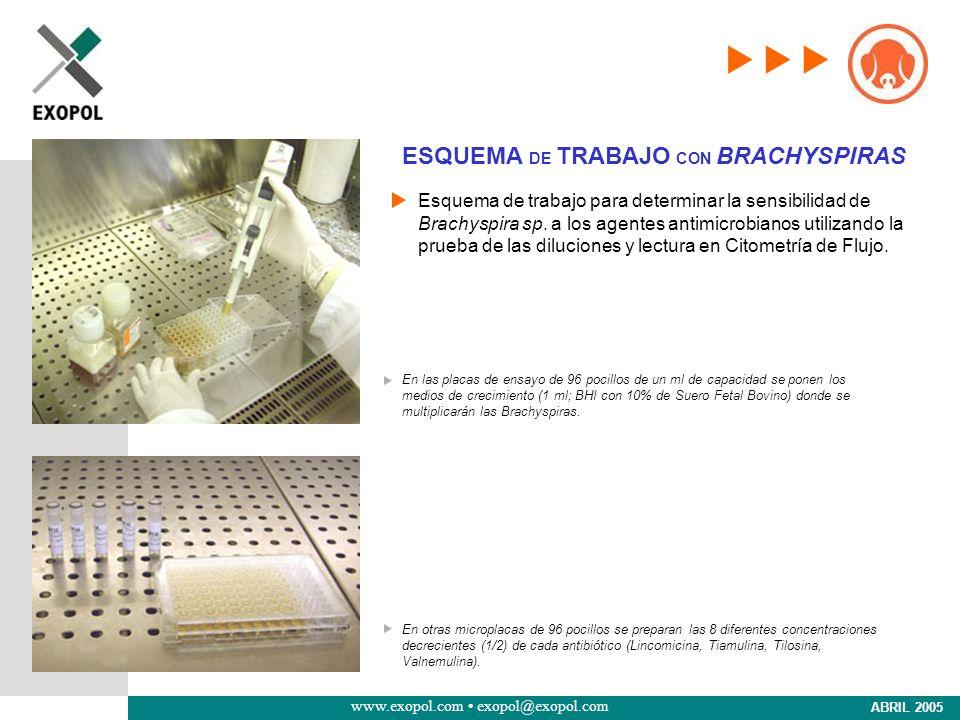 www.exopol.com exopol@exopol.com ABRIL 2005 ESQUEMA DE TRABAJO CON BRACHYSPIRAS Esquema de trabajo para determinar la sensibilidad de Brachyspira sp.