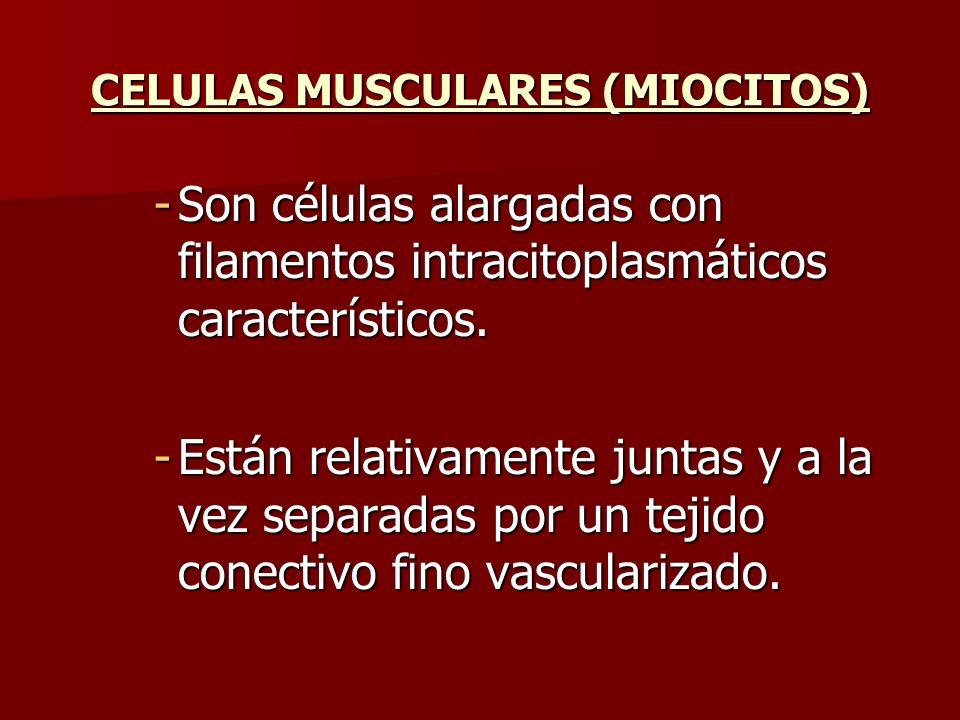 -Son células alargadas con filamentos intracitoplasmáticos característicos. -Están relativamente juntas y a la vez separadas por un tejido conectivo f