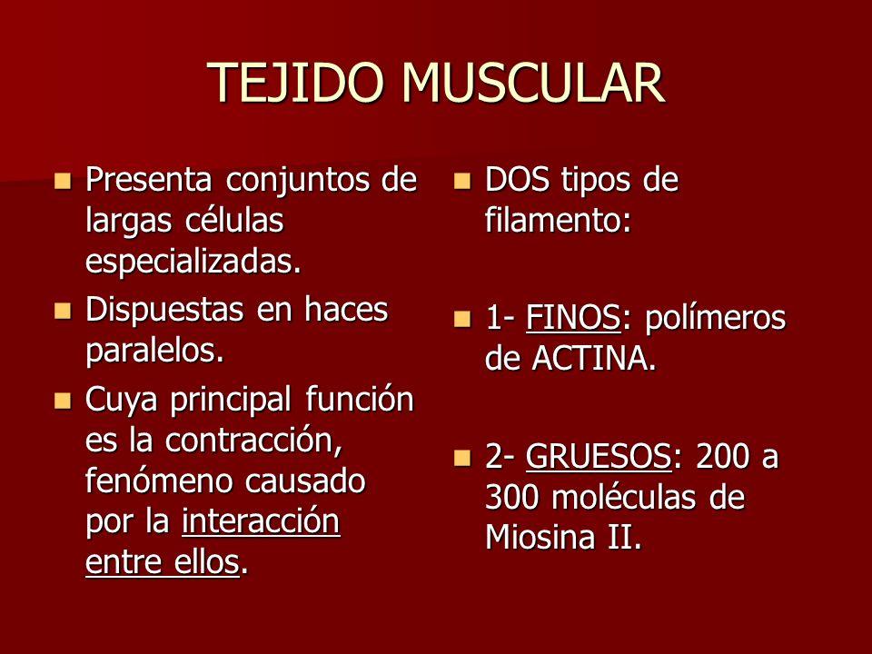 TEJIDO MUSCULAR Presenta conjuntos de largas células especializadas. Presenta conjuntos de largas células especializadas. Dispuestas en haces paralelo