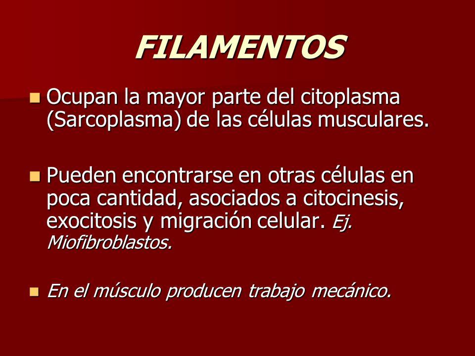 FILAMENTOS Ocupan la mayor parte del citoplasma (Sarcoplasma) de las células musculares. Ocupan la mayor parte del citoplasma (Sarcoplasma) de las cél