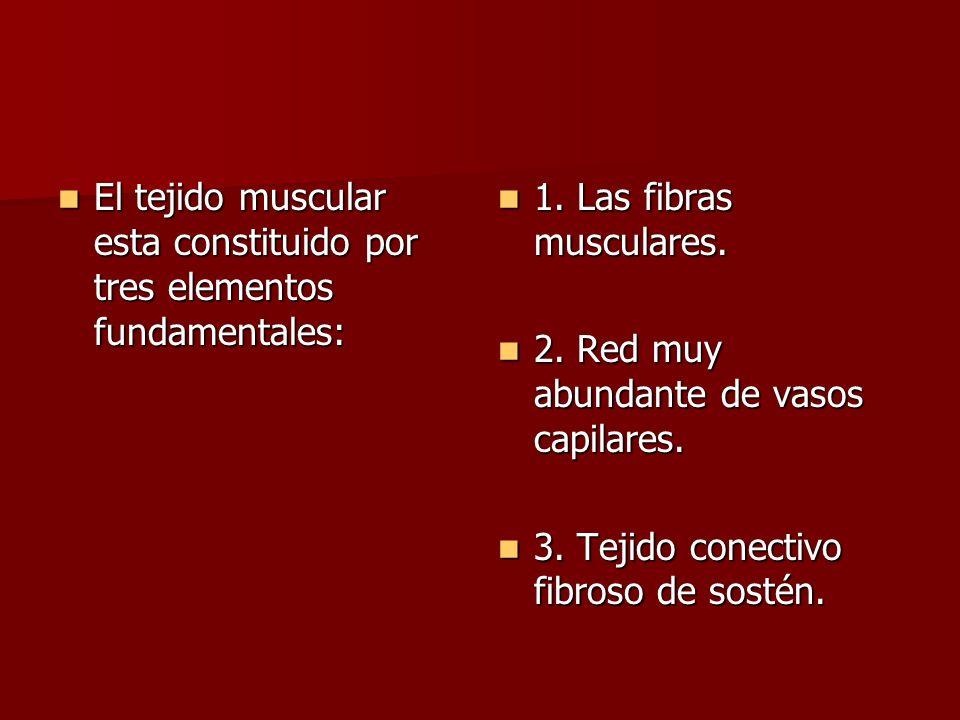 El tejido muscular esta constituido por tres elementos fundamentales: El tejido muscular esta constituido por tres elementos fundamentales: 1. Las fib