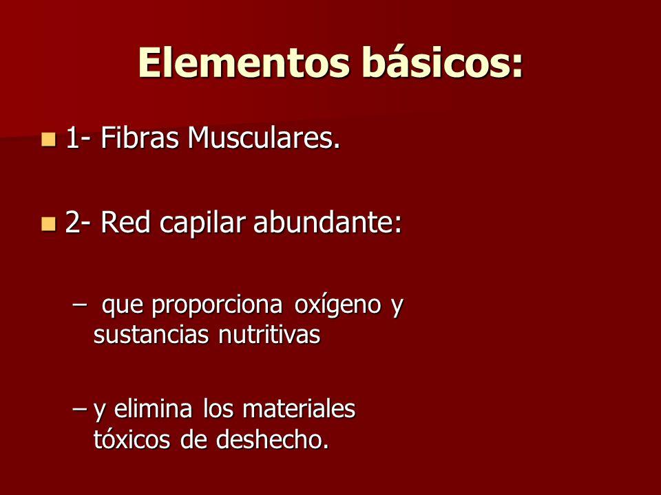 Elementos básicos: 1- Fibras Musculares. 1- Fibras Musculares. 2- Red capilar abundante: 2- Red capilar abundante: – que proporciona oxígeno y sustanc