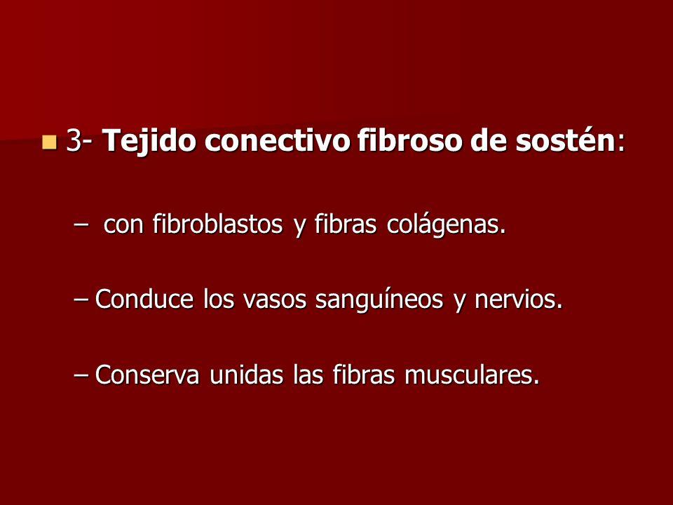 3- Tejido conectivo fibroso de sostén: 3- Tejido conectivo fibroso de sostén: – con fibroblastos y fibras colágenas. –Conduce los vasos sanguíneos y n