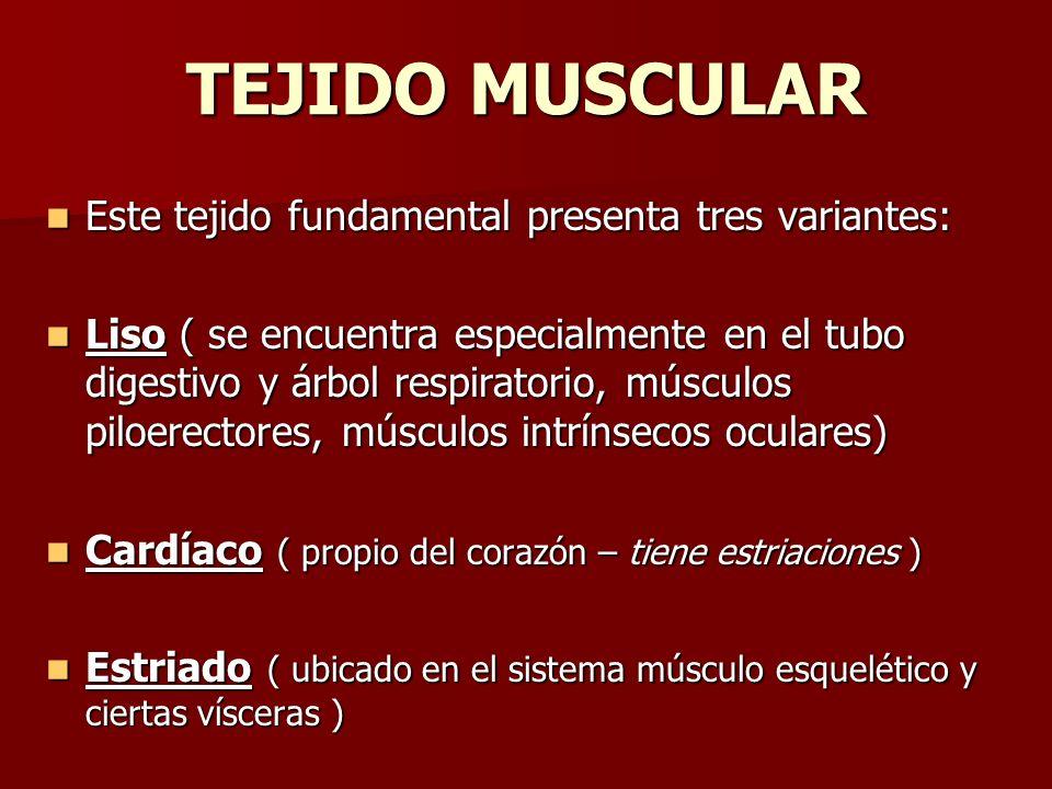 TEJIDO MUSCULAR Este tejido fundamental presenta tres variantes: Este tejido fundamental presenta tres variantes: Liso ( se encuentra especialmente en