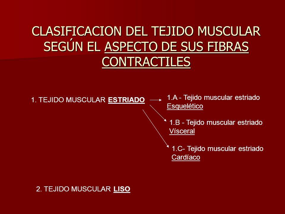 CLASIFICACION DEL TEJIDO MUSCULAR SEGÚN EL ASPECTO DE SUS FIBRAS CONTRACTILES 1. TEJIDO MUSCULAR ESTRIADO 2. TEJIDO MUSCULAR LISO 1.A - Tejido muscula