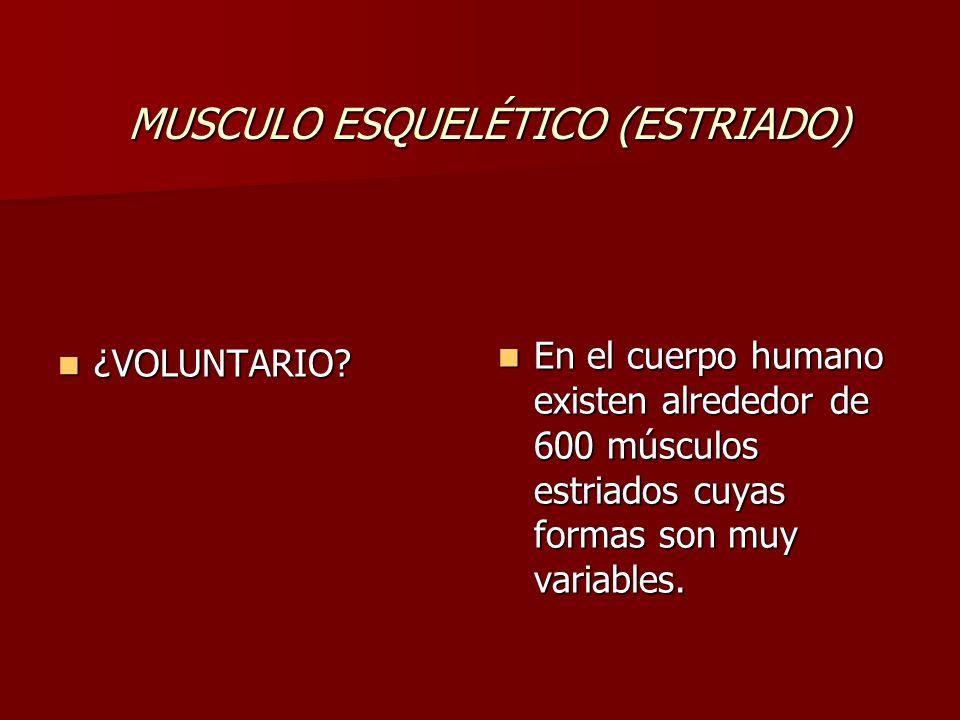 MUSCULO ESQUELÉTICO (ESTRIADO) ¿VOLUNTARIO? ¿VOLUNTARIO? En el cuerpo humano existen alrededor de 600 músculos estriados cuyas formas son muy variable