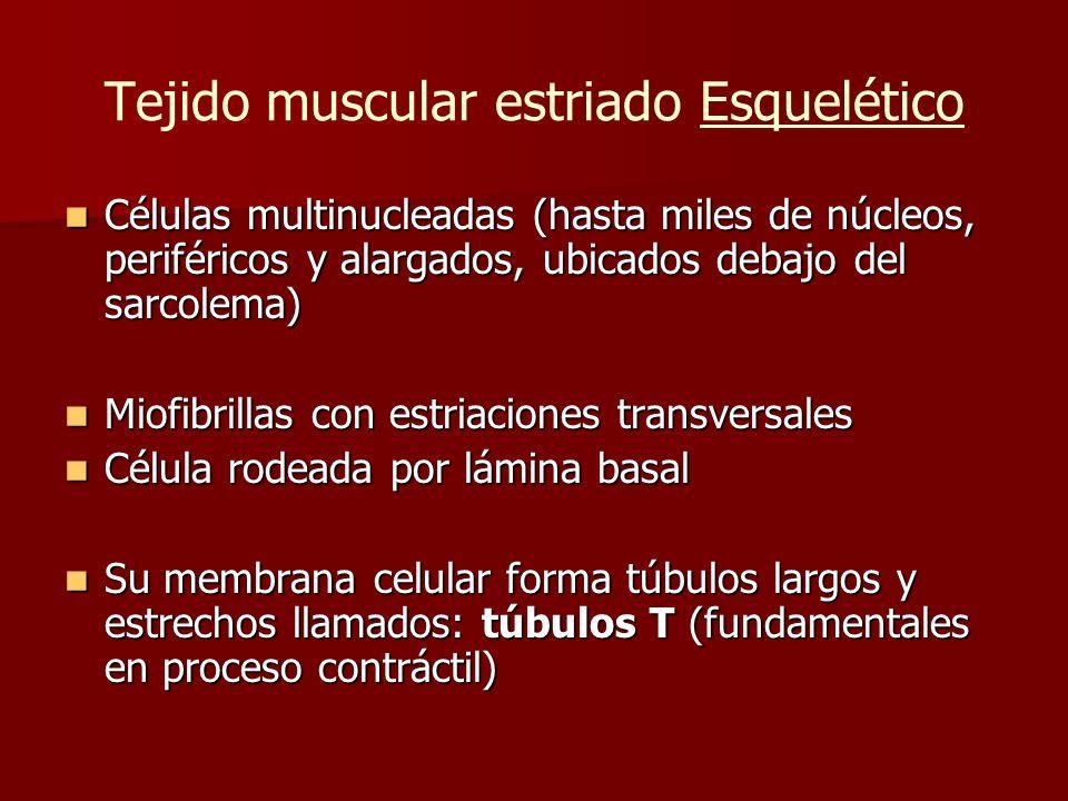 Tejido muscular estriado Esquelético Células multinucleadas (hasta miles de núcleos, periféricos y alargados, ubicados debajo del sarcolema) Células m