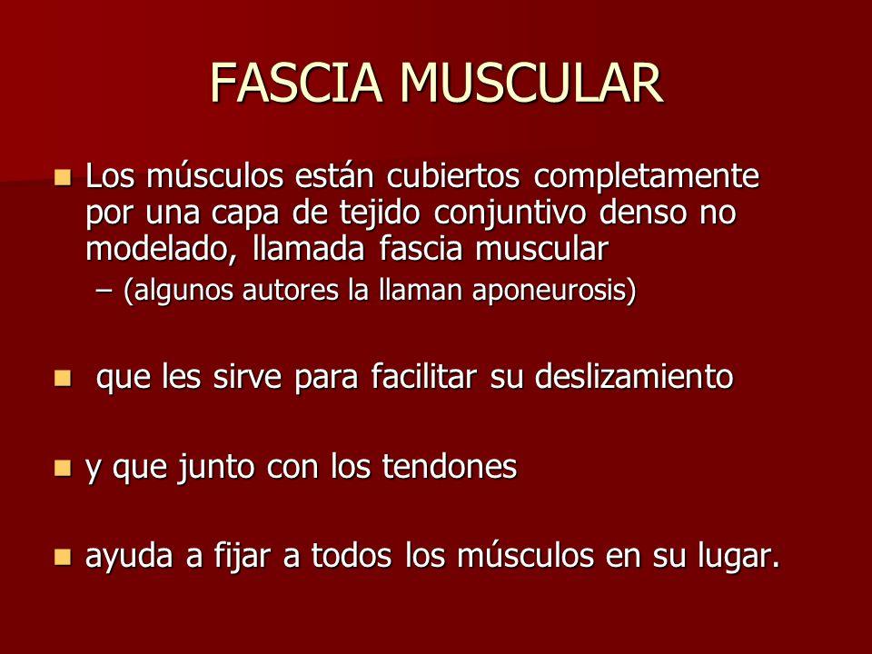 Los músculos están cubiertos completamente por una capa de tejido conjuntivo denso no modelado, llamada fascia muscular Los músculos están cubiertos c