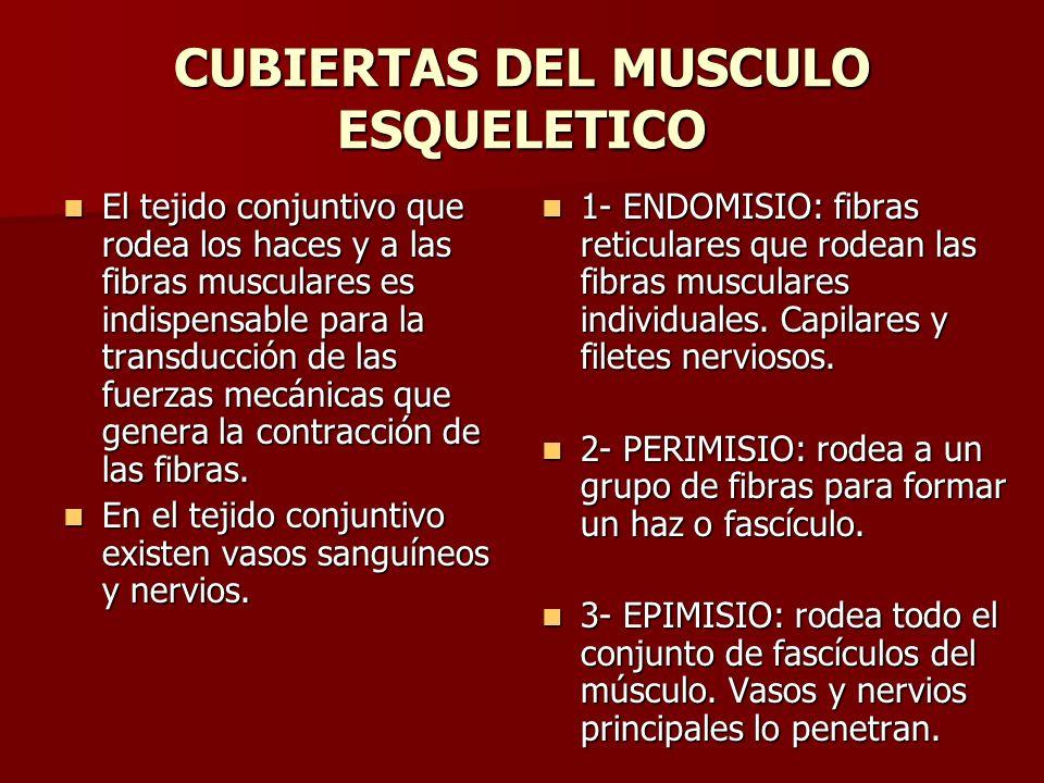 CUBIERTAS DEL MUSCULO ESQUELETICO El tejido conjuntivo que rodea los haces y a las fibras musculares es indispensable para la transducción de las fuer