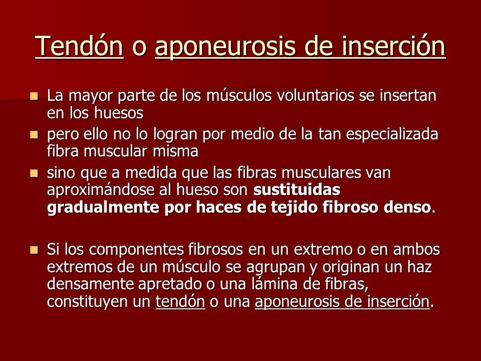 Tendón o aponeurosis de inserción La mayor parte de los músculos voluntarios se insertan en los huesos La mayor parte de los músculos voluntarios se i