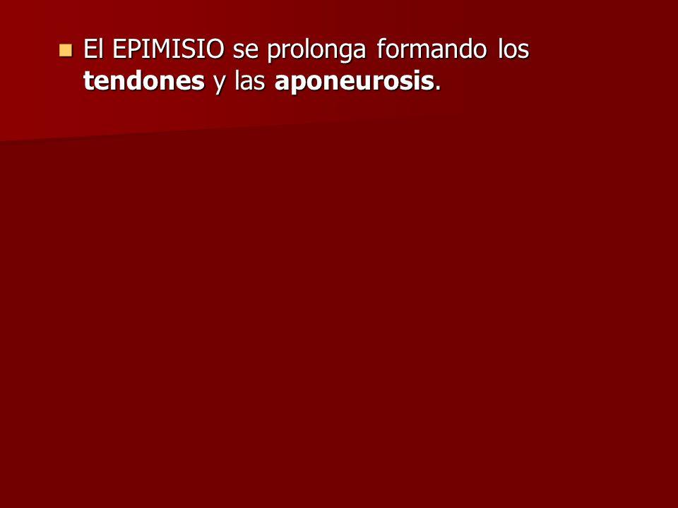 El EPIMISIO se prolonga formando los tendones y las aponeurosis. El EPIMISIO se prolonga formando los tendones y las aponeurosis.