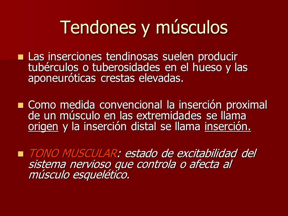 Tendones y músculos Las inserciones tendinosas suelen producir tubérculos o tuberosidades en el hueso y las aponeuróticas crestas elevadas. Las inserc