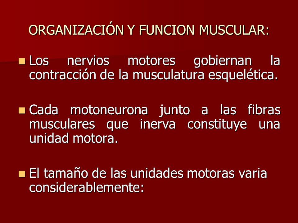 ORGANIZACIÓN Y FUNCION MUSCULAR: Los nervios motores gobiernan la contracción de la musculatura esquelética. Los nervios motores gobiernan la contracc