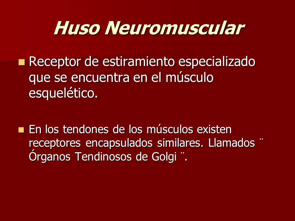 Huso Neuromuscular Receptor de estiramiento especializado que se encuentra en el músculo esquelético. Receptor de estiramiento especializado que se en