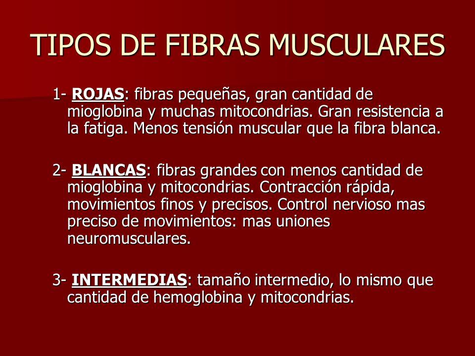 TIPOS DE FIBRAS MUSCULARES 1- ROJAS: fibras pequeñas, gran cantidad de mioglobina y muchas mitocondrias. Gran resistencia a la fatiga. Menos tensión m