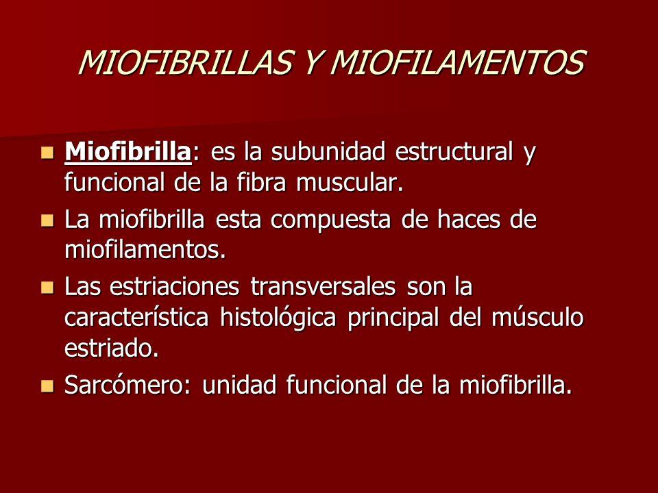 MIOFIBRILLAS Y MIOFILAMENTOS Miofibrilla: es la subunidad estructural y funcional de la fibra muscular. Miofibrilla: es la subunidad estructural y fun