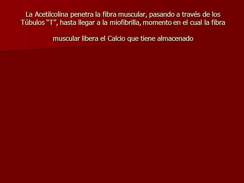La Acetilcolina penetra la fibra muscular, pasando a través de los Túbulos T, hasta llegar a la miofibrilla, momento en el cual la fibra muscular libe