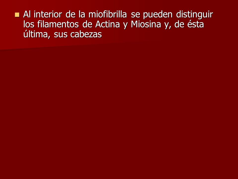 Al interior de la miofibrilla se pueden distinguir los filamentos de Actina y Miosina y, de ésta última, sus cabezas Al interior de la miofibrilla se