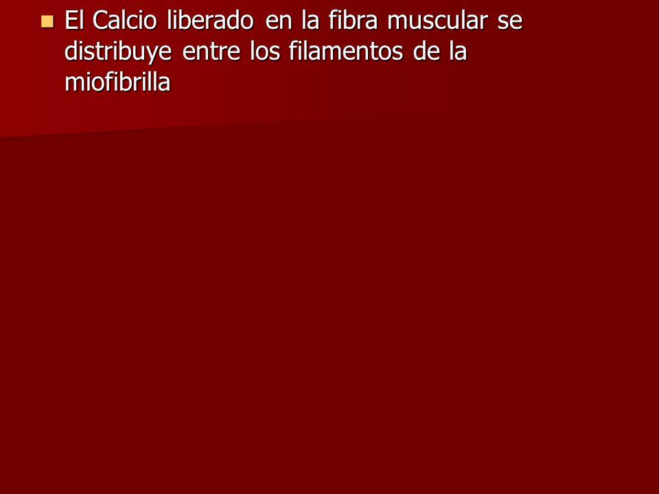 El Calcio liberado en la fibra muscular se distribuye entre los filamentos de la miofibrilla El Calcio liberado en la fibra muscular se distribuye ent
