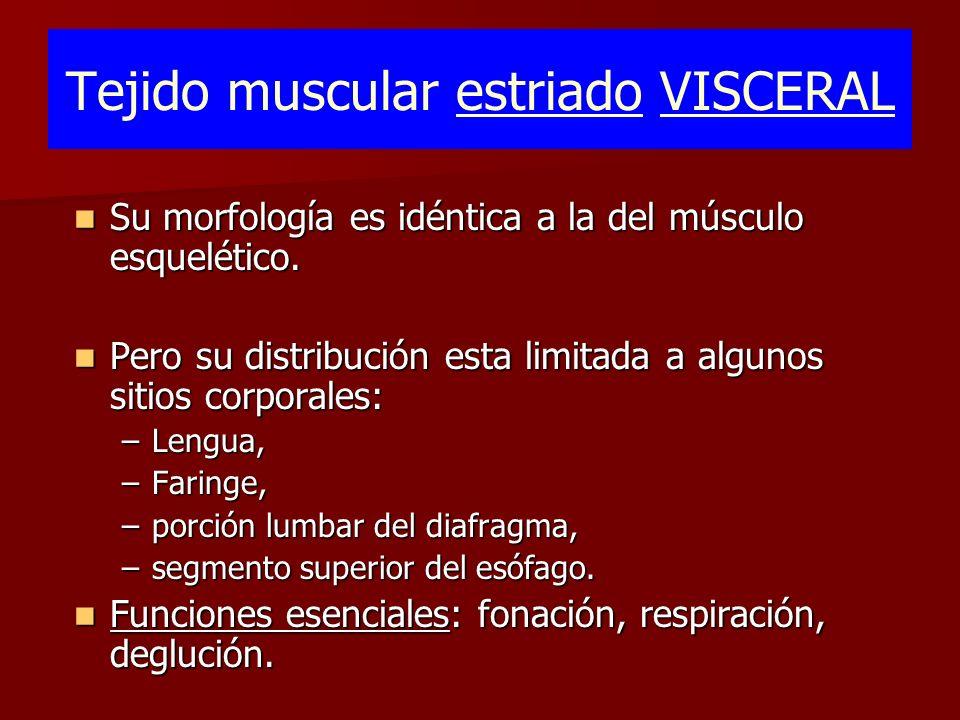 Tejido muscular estriado VISCERAL Su morfología es idéntica a la del músculo esquelético. Su morfología es idéntica a la del músculo esquelético. Pero