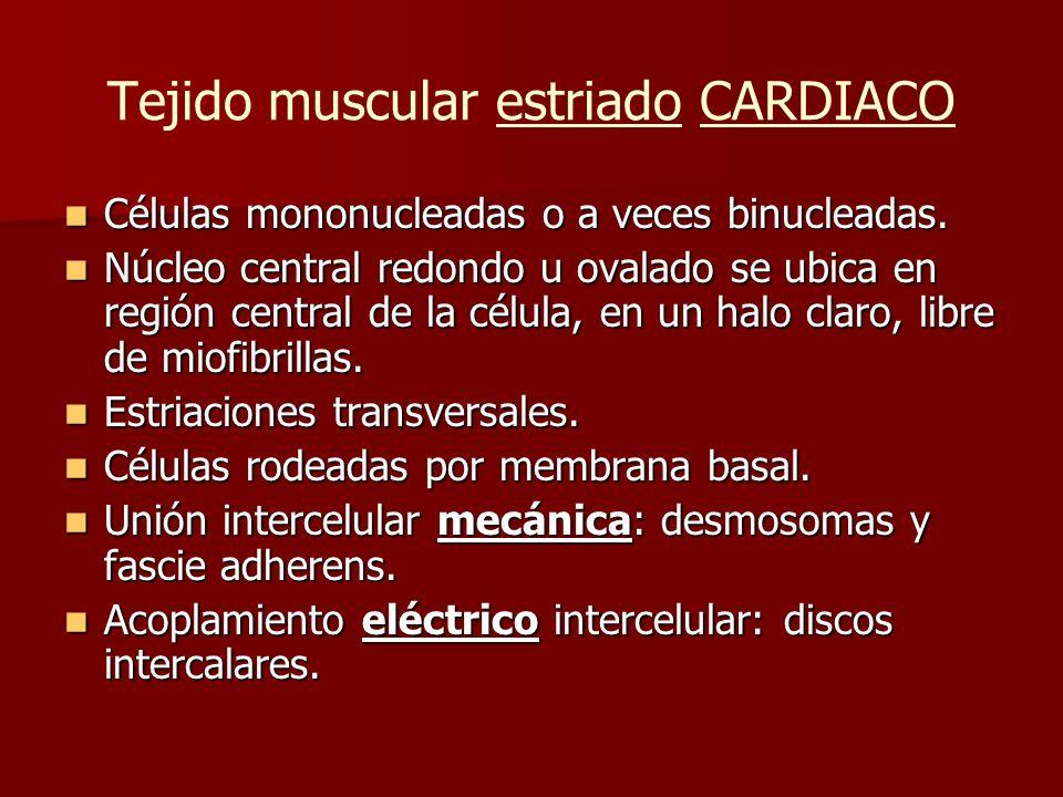 Tejido muscular estriado CARDIACO Células mononucleadas o a veces binucleadas. Células mononucleadas o a veces binucleadas. Núcleo central redondo u o