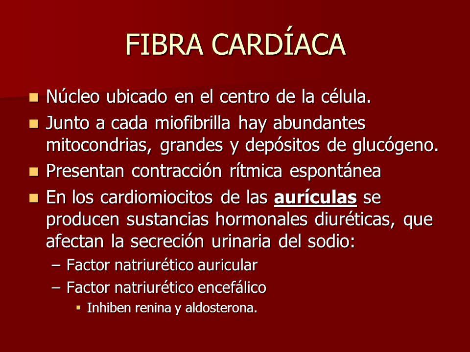 FIBRA CARDÍACA Núcleo ubicado en el centro de la célula. Núcleo ubicado en el centro de la célula. Junto a cada miofibrilla hay abundantes mitocondria