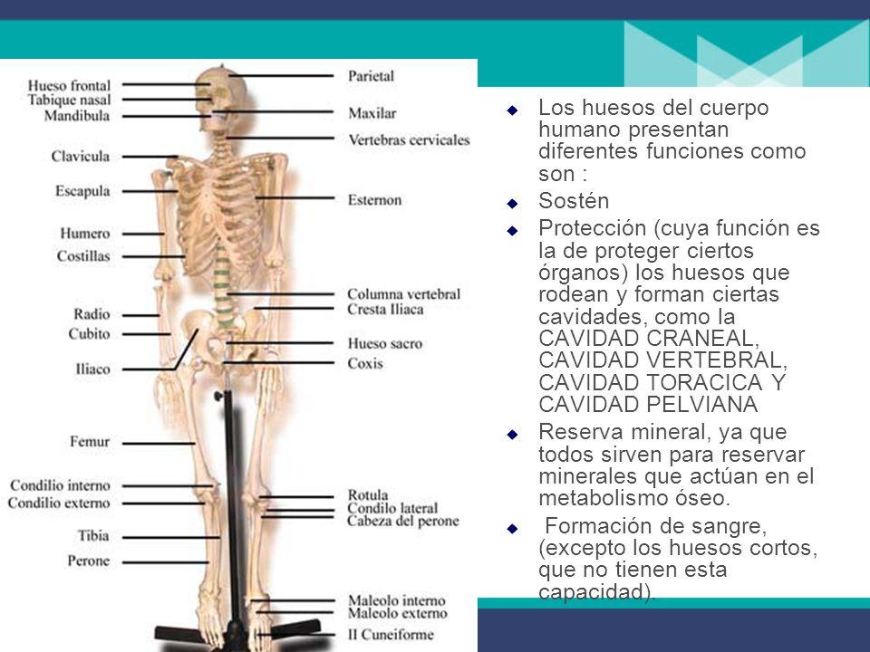Los huesos del cuerpo humano presentan diferentes funciones como son : Sostén Protección (cuya función es la de proteger ciertos órganos) los huesos que rodean y forman ciertas cavidades, como la CAVIDAD CRANEAL, CAVIDAD VERTEBRAL, CAVIDAD TORACICA Y CAVIDAD PELVIANA Reserva mineral, ya que todos sirven para reservar minerales que actúan en el metabolismo óseo.