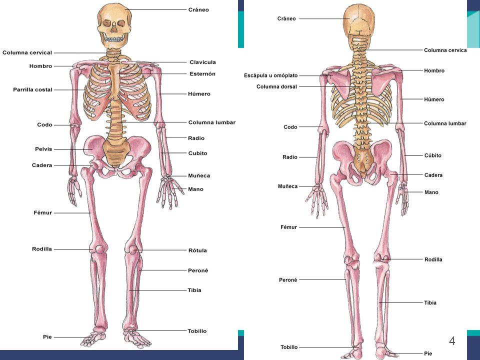 Huesos de La Cabeza - Los huesos del cráneo son 8 y forman una caja resistente para proteger el cerebro.