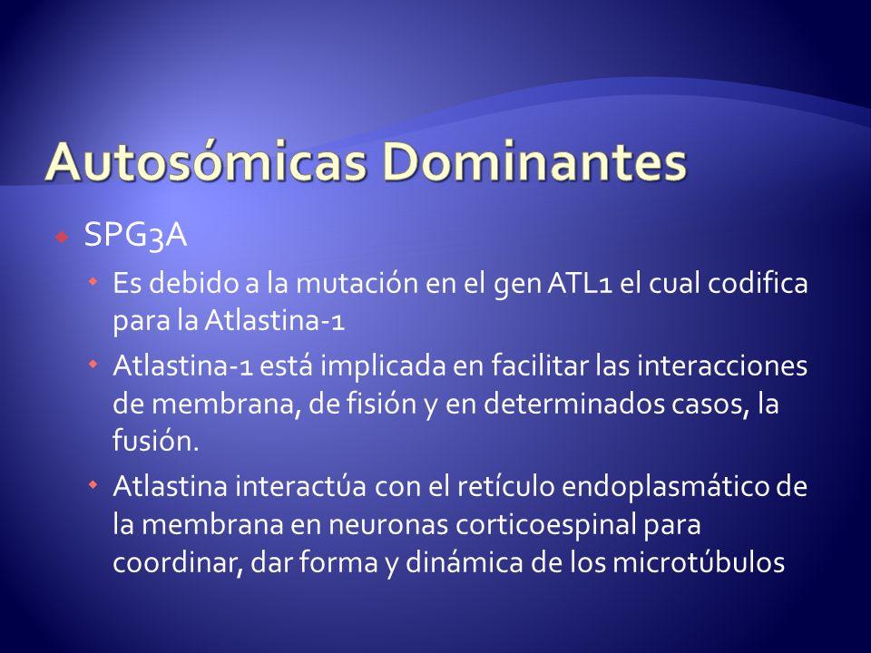 SPG3A Es debido a la mutación en el gen ATL1 el cual codifica para la Atlastina-1 Atlastina-1 está implicada en facilitar las interacciones de membrana, de fisión y en determinados casos, la fusión.