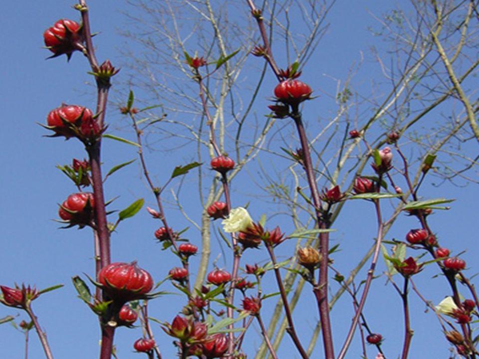 Esta planta es un arbusto de aproximadamente 3 metros de altura, se cultiva en huertos y jardines; en Chiapas la usan para aliviar el dolor de estómag