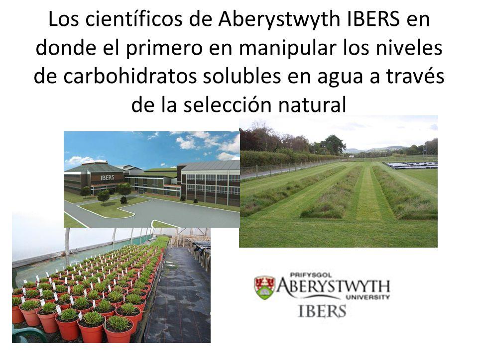 Los científicos de Aberystwyth IBERS en donde el primero en manipular los niveles de carbohidratos solubles en agua a través de la selección natural