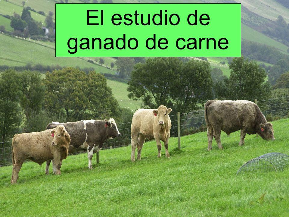El estudio de ganado de carne