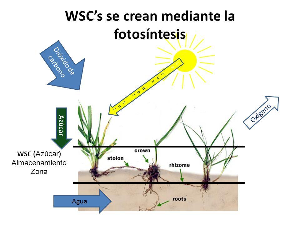 La luz del solLa luz del sol Dióxido de carbono Agua Azúcar Oxígeno WSC ( Azúcar ) Almacenamiento Zona WSCs se crean mediante la fotosíntesis