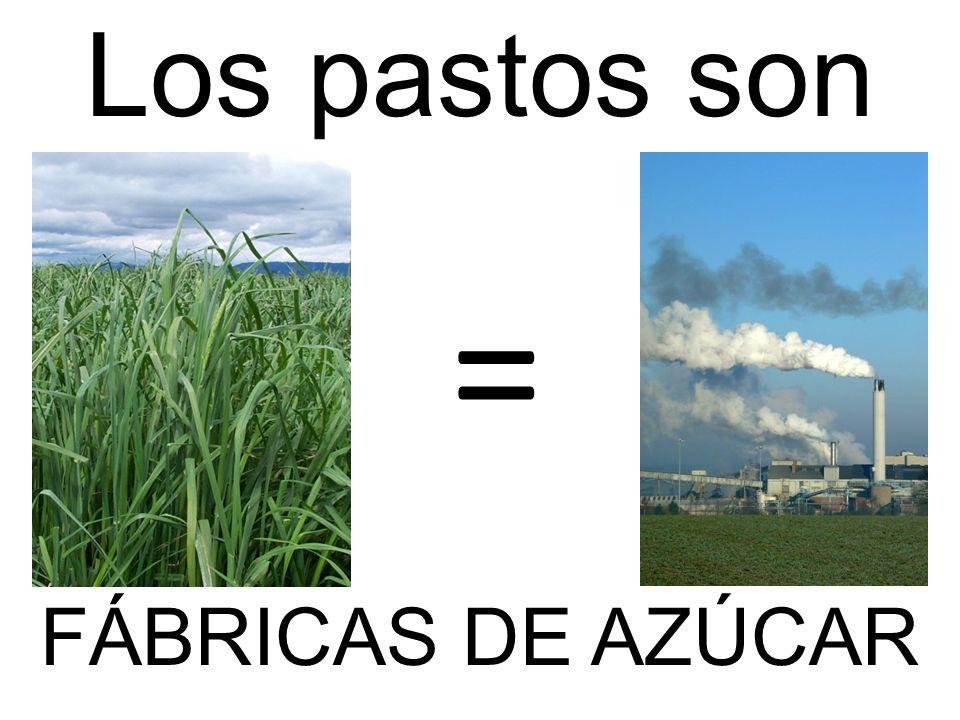 Los pastos son FÁBRICAS DE AZÚCAR =