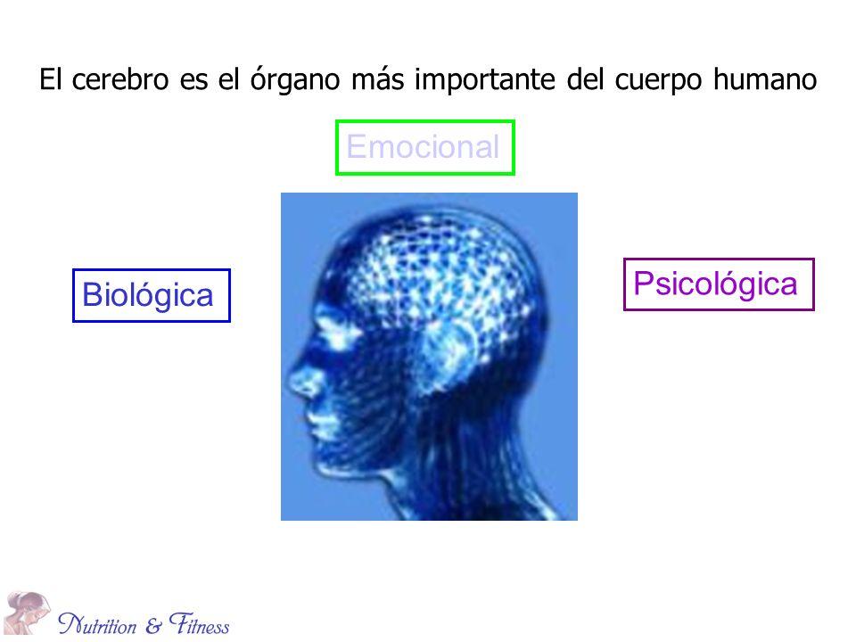 El cerebro es el órgano más importante del cuerpo humano Emocional Psicológica Biológica