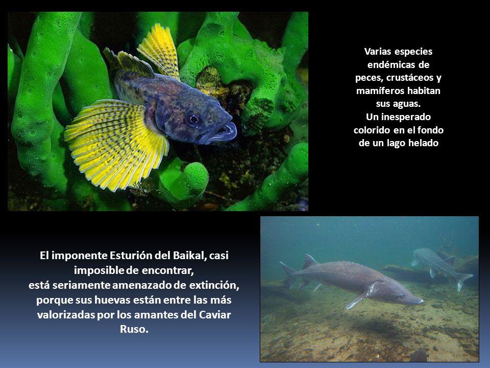 Varias especies endémicas de peces, crustáceos y mamíferos habitan sus aguas. Un inesperado colorido en el fondo de un lago helado El imponente Esturi