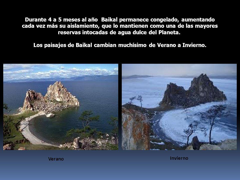 Durante 4 a 5 meses al año Baikal permanece congelado, aumentando cada vez más su aislamiento, que lo mantienen como una de las mayores reservas intoc