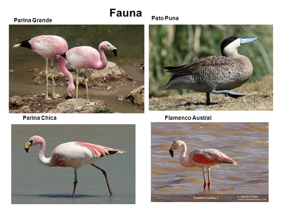 Parina Grande Flamenco Austral Pato Puna Parina Chica Fauna