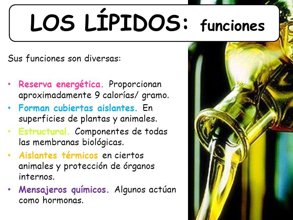 LOS LÍPIDOS: funciones Sus funciones son diversas: Reserva energética.