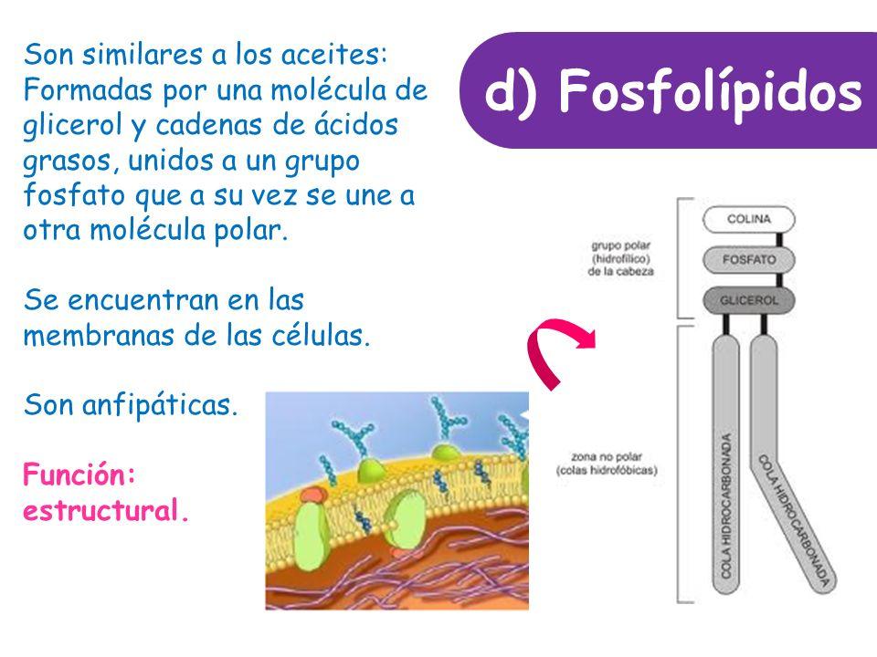 d) Fosfolípidos Son similares a los aceites: Formadas por una molécula de glicerol y cadenas de ácidos grasos, unidos a un grupo fosfato que a su vez se une a otra molécula polar.